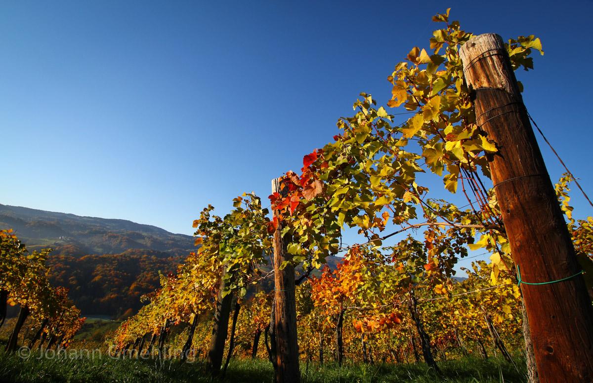 Weinlaub im Herbst