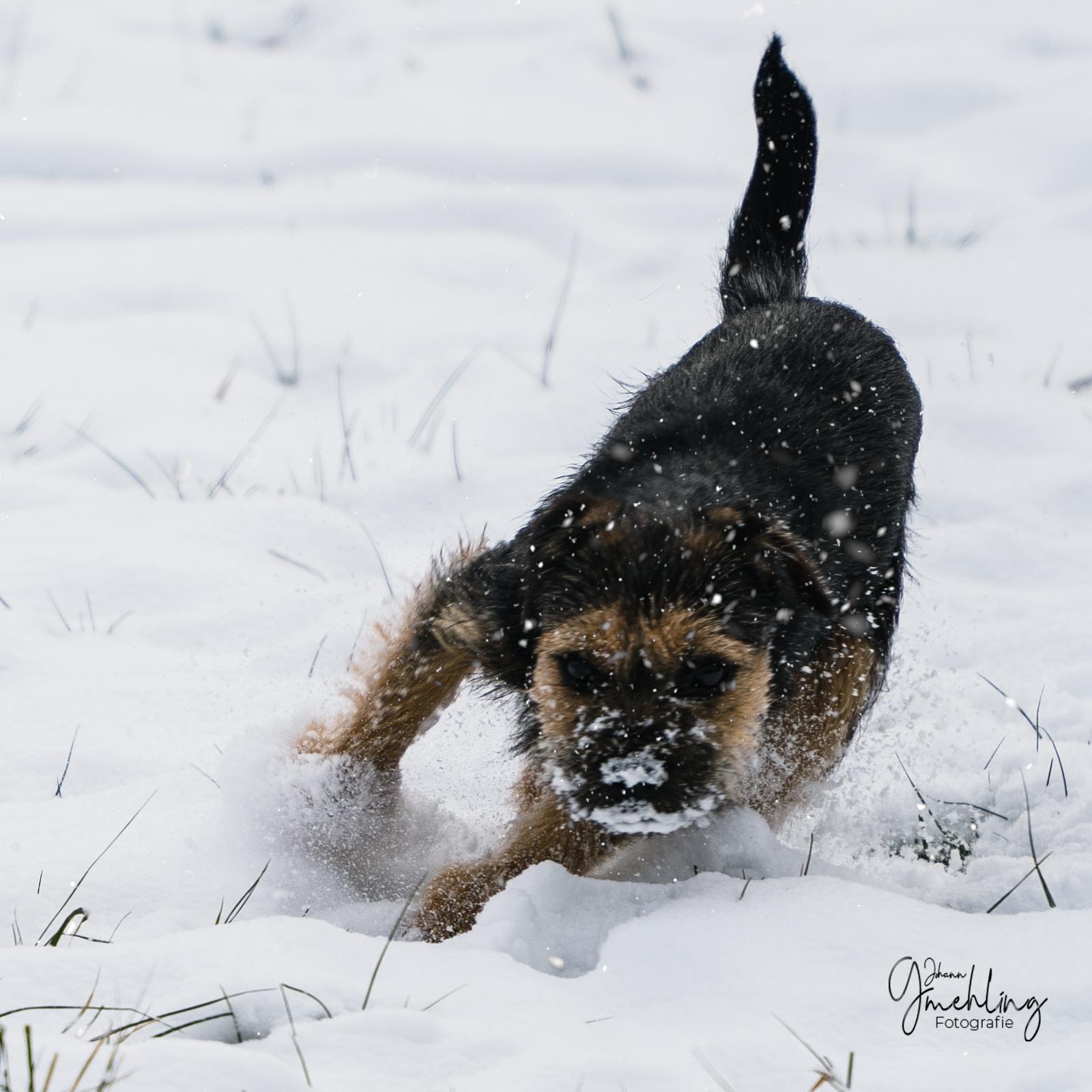 Borderterrier voll Speed im Schnee