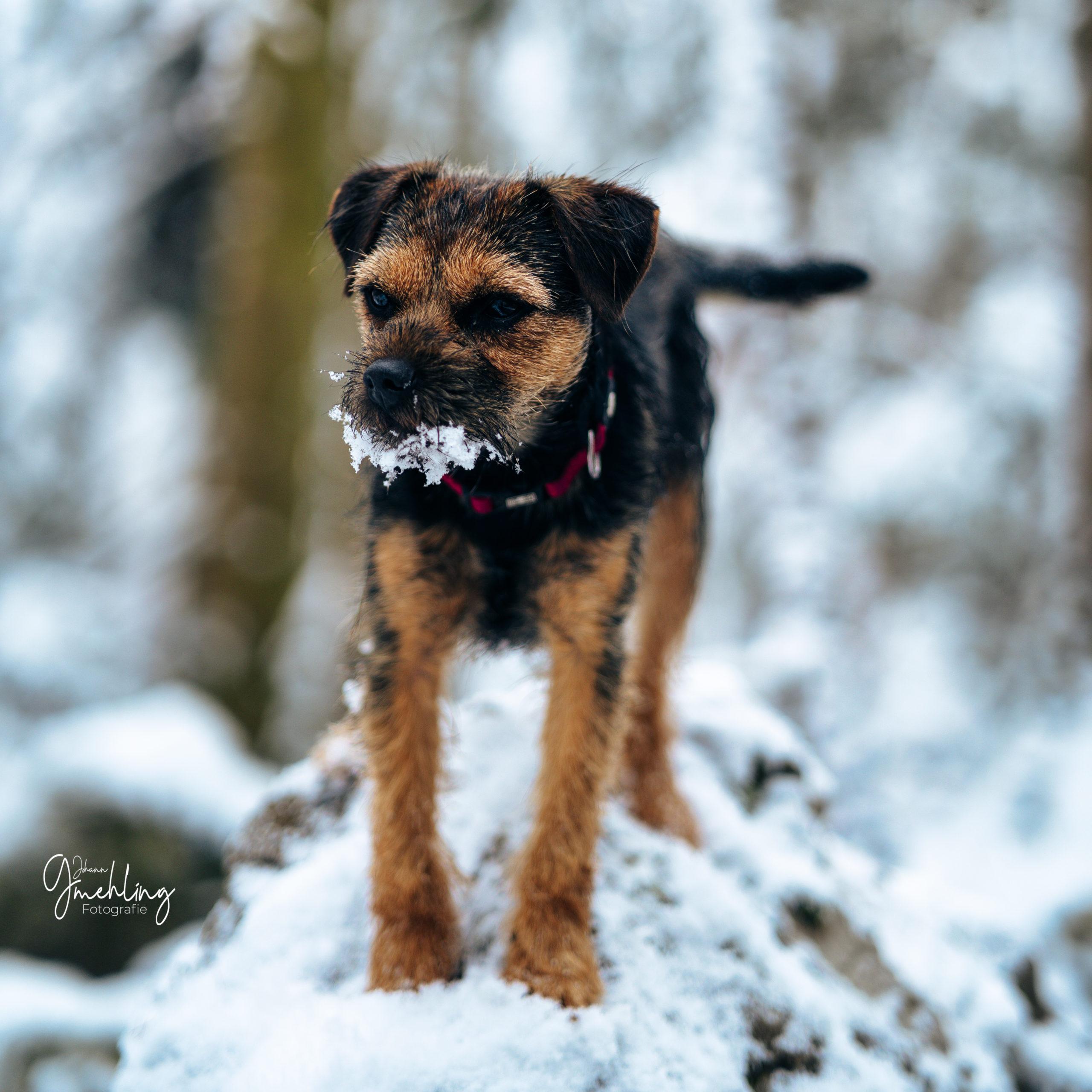 Borderterrier im Schnee