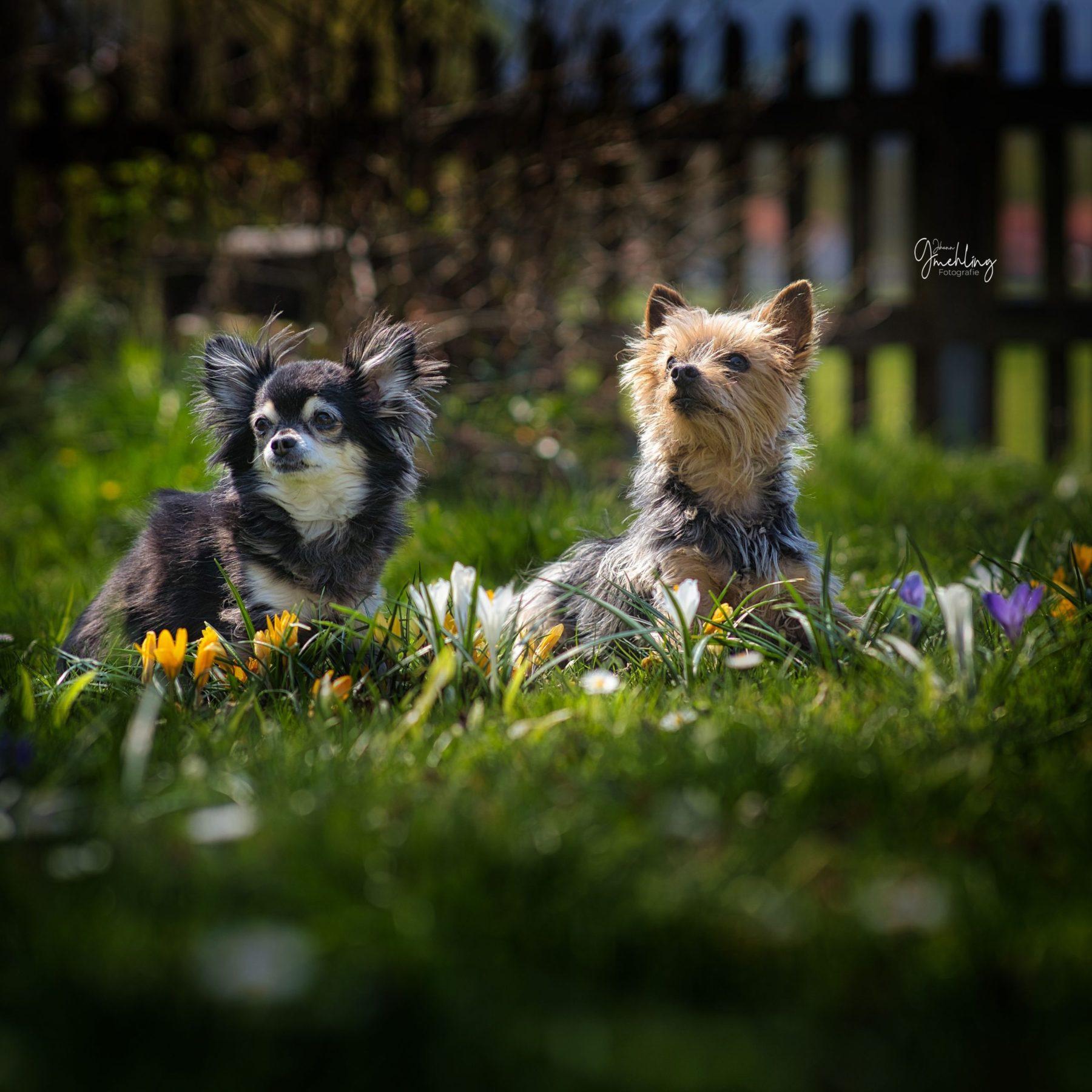 Yorkshire und Chiwawa in Blumenwiese