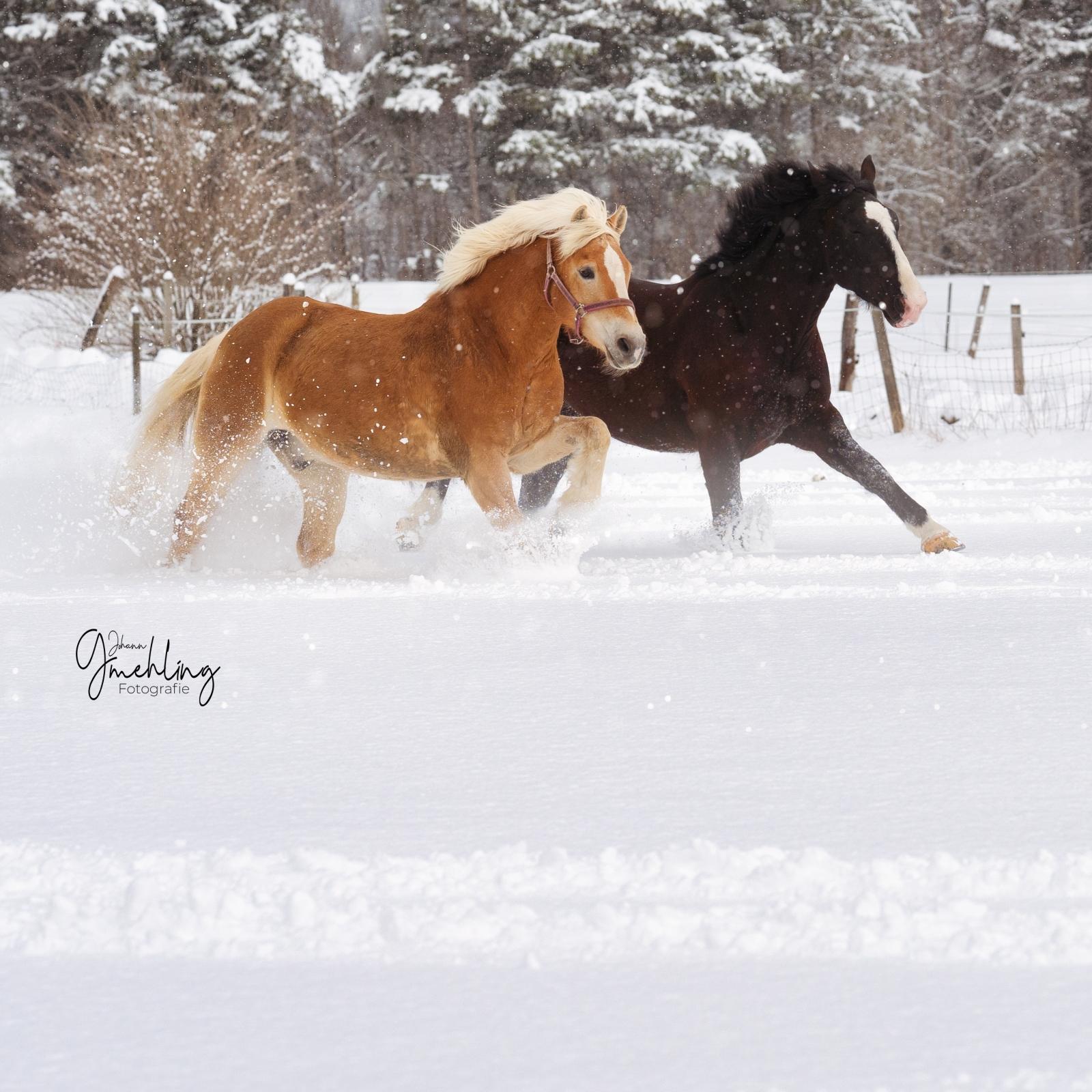 Zwei laufende Pferde im Schnee